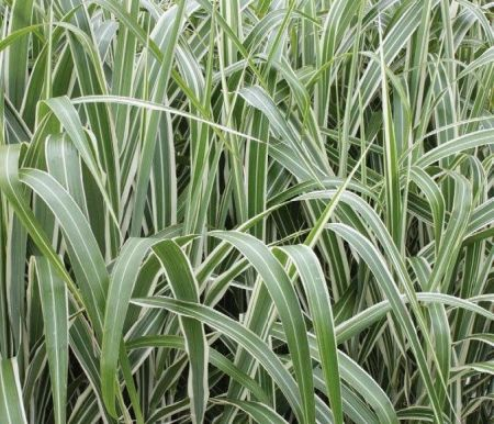 Miscanthus sinensis Cosmopolital Hardy ornamental Grass Plant in a 19cm pot