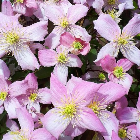 Clematis montana Fragrant Spring Climbing plant in 15cm pot