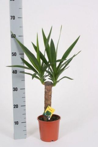 Yucca house plant with 30cm stem. In 14cm pot. Around 60cm tall overall approx