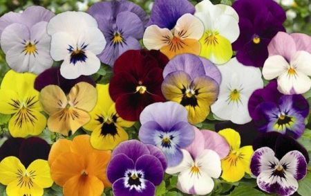 Viola Mixed bedding plant 6 pack Garden Ready Plants.