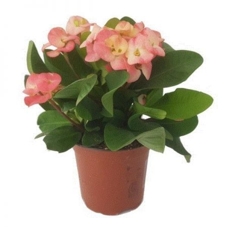 Euphorbia milii Kronos Bicolour Succulent House Plant in a 11cm Pot Crown of Thorns