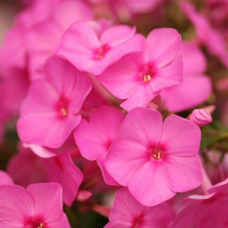 Phlox Paniculata Flame Pink Plant in a 17cm Pot.