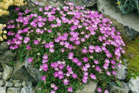 Erodium x variabile 'Bishop's Form' Alpine perennial plant in a 9cm pot x 3
