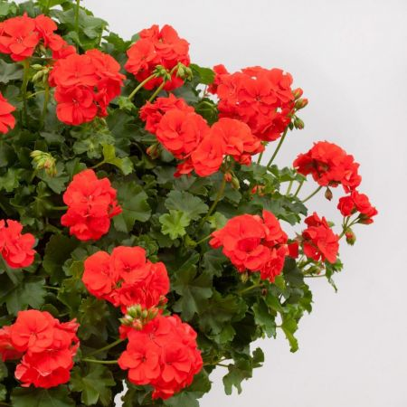 Trailing Ivy Leaf Geranium Orange Plant in 10cm pot x 3 Pelargonium Peltatum