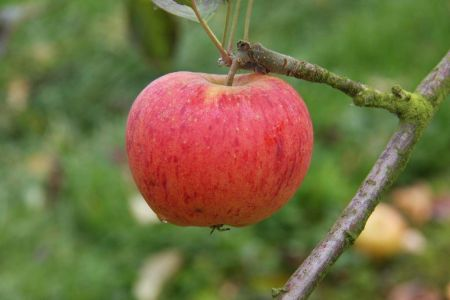 Apple (Malus) Paradice  Gold tree in a 12 Litre pot - Bush form - Rootstock MM106