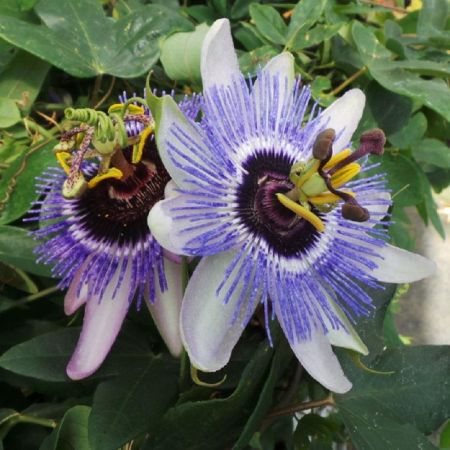 Passiflora Damsels Delight climbing passion flower plant in 15cm pot