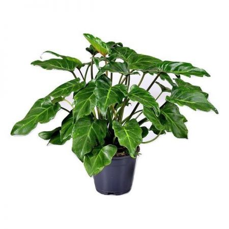 Philodendron Shangri La house plant in 14cm pot
