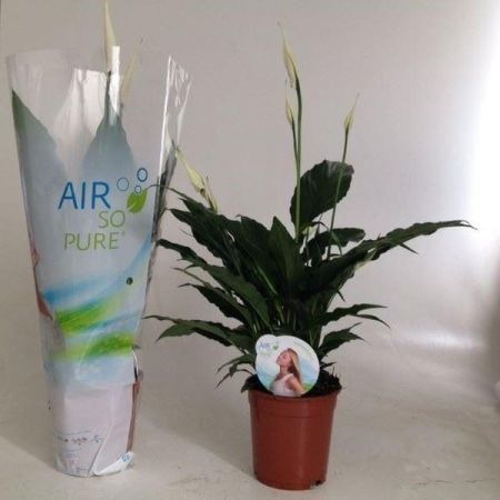 Peace Lily, Spathiphyllum Sweet Chico White house plant in a 13cm pot.