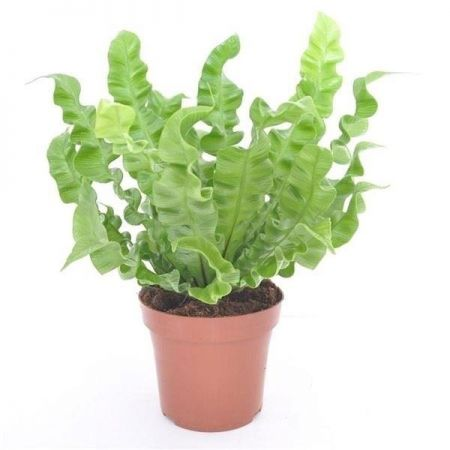 Asplenium Nidus Crispy Wave Fern House Plant in a 12cm Pot.
