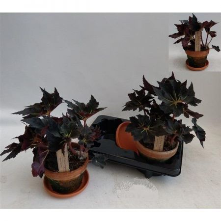 Begonia Black Fang House Plant in a 16cm Terracotta Pot