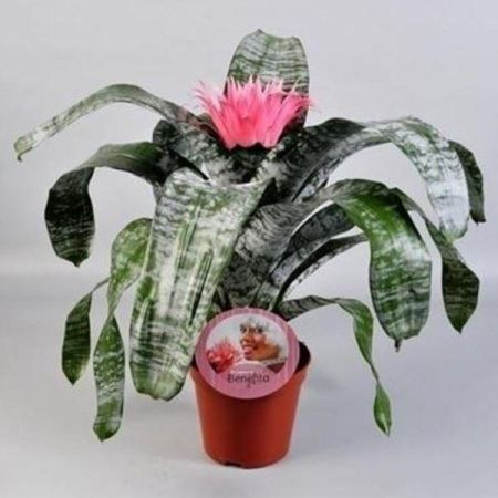 Aechmea Pink Bromeliad house plant in 15cm pot. 60cm tall