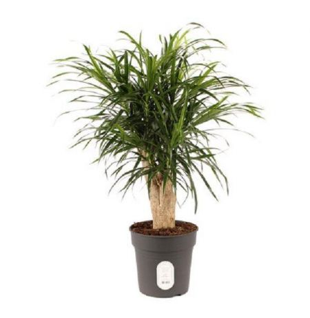 Dracaena reflexa Anita House Plant in a 21cm Pot.  Approx 75cm tall.