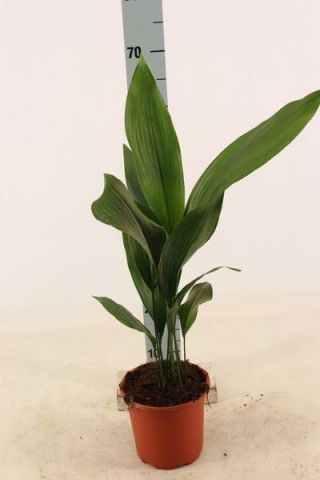 Aspidistra elatior House Plant.  Cast Iron Plant. 70cm tall approx.
