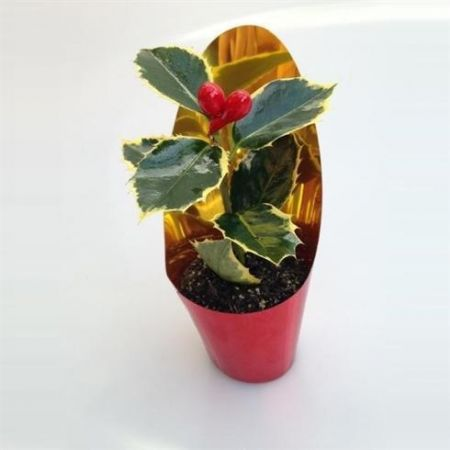Real Ilex mini holly tree with artificial berries. In 6cm pot. Christmas gift