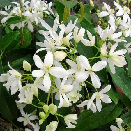 Clematis Armandii Evergreen Climbing Plant in a 15cm Pot