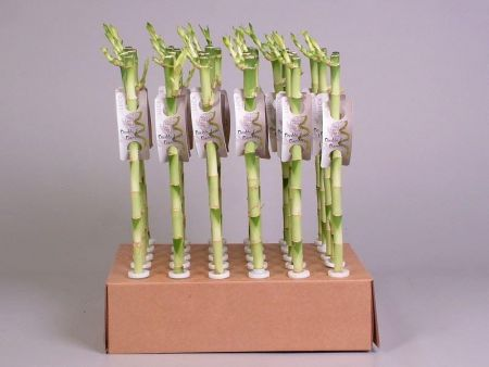 Lucky Bamboo Stems x 3.  40cm tall. A perfect gift for bringing good luck