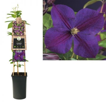 Clematis Star of India plant in a 16cm pot RHS AGM