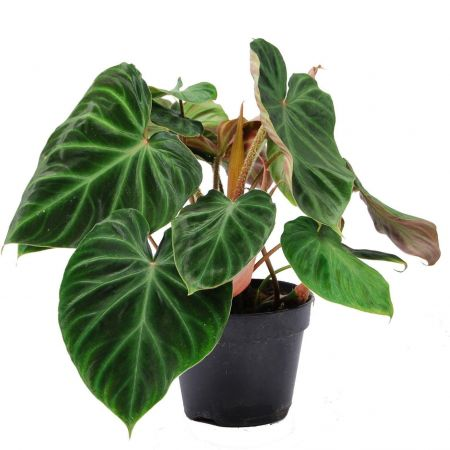 Philodendron verrucosum Incensi houseplant in a 15cm pot Very Rare
