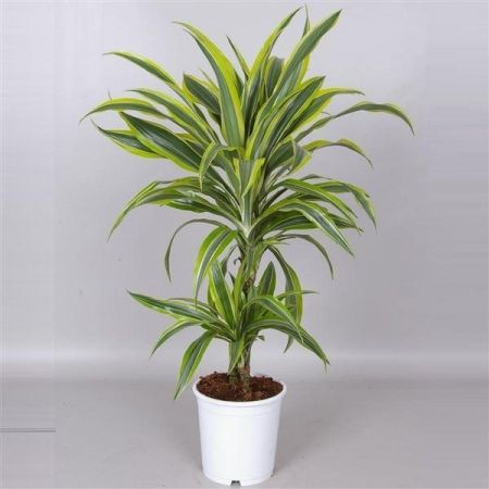 Dracaena Lemon Lime Plant with 2 Stems in a 17cm . Dragon Plant. 65cm tall inc. pot