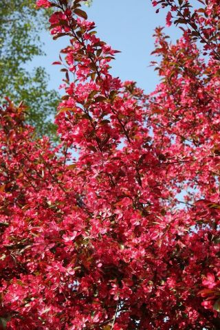 Malus toringo Scarlett crab apple tree in a 12 Litre container