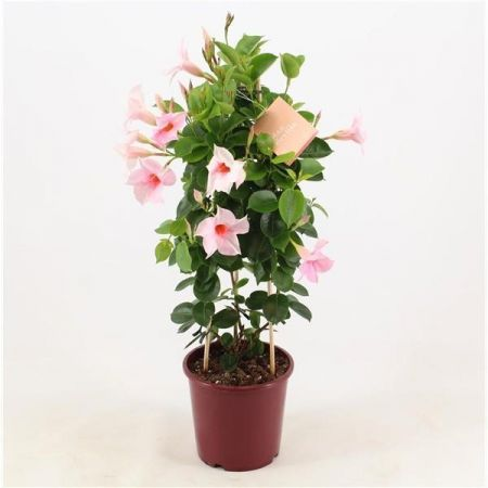 Mandevilla splendens LIGHT PINK house plant trained up pyramid trellis 60cm tall.  Dipladenia
