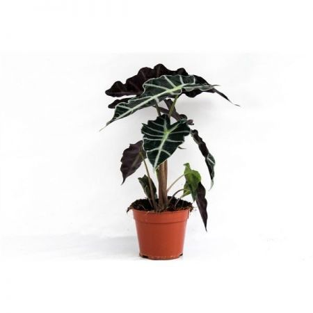 Alocasia Polly Exotic House Plant in a 17cm Pot.  Approx 45cm tall