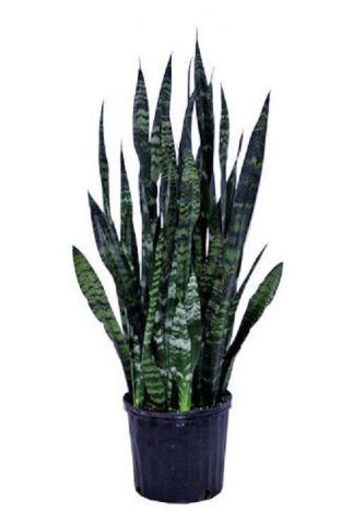 Sanseviera Black Coral house plant in 14cm Pot. Mother in Laws Tongue