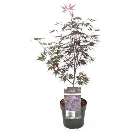 Acer Palmatum Black Lace Tree in a 19cm Pot. Japanese Maple. Red Foliage