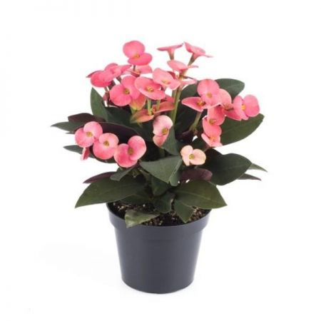 Euphorbia milii Miliana Pink Succulent House Plant in a 12cm Pot Crown of Thorns