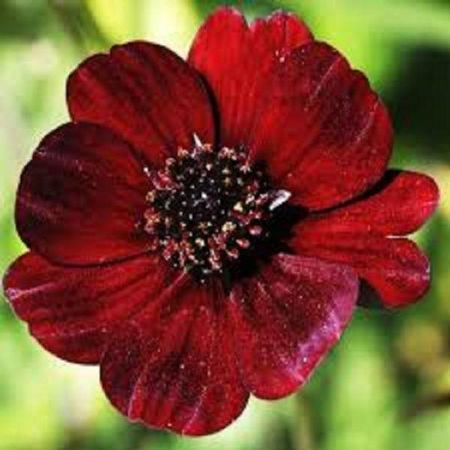 Chocolate Cosmos perennial plant in 17cm pot.  Chocolate scented in summer