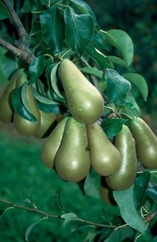 Pear (Pyrus) Conference tree in a 12 Litre pot - Bush form - Rootstock Quince A