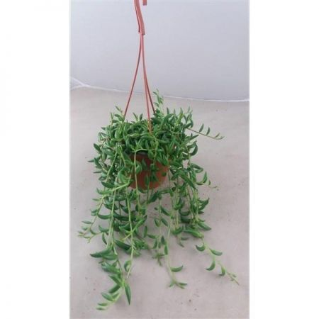 Senecio radicans String of Bananas House Plant in a 12cm Hanging Pot