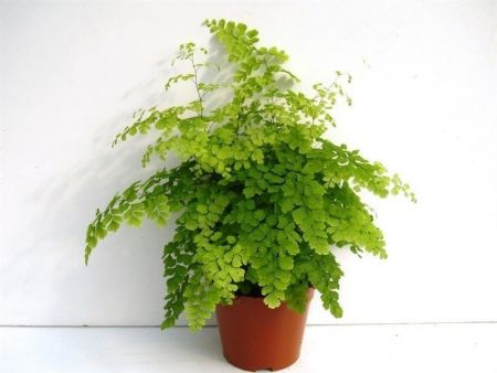 Adiantum var. Fragrans fern house plant in a 12cm pot. Maidenhair fern