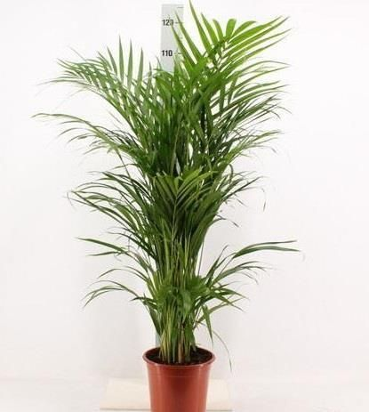 Areca Palm Tree in a 21cm Pot  Butterfly Palm  Dypsis Lutescens 100-120cm tall