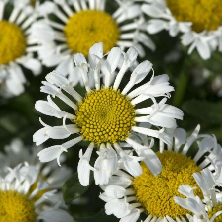 Leucanthemum Cloud Cirrus Plant in a 17cm pot.  Shasta Daisy.  Loved by bees