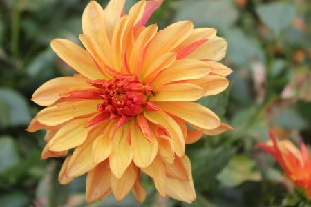 Dahlia French Can Can Tuber x 1