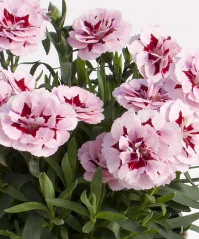 Dianthus Oscar® Purple Star Plant in a 9cm Pot x 3. Carnation Pinks