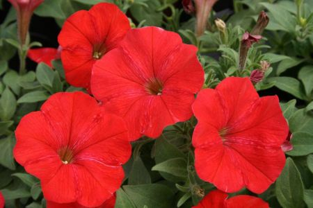 Petunia RED Bedding Plants 6 pack Garden Ready Plants