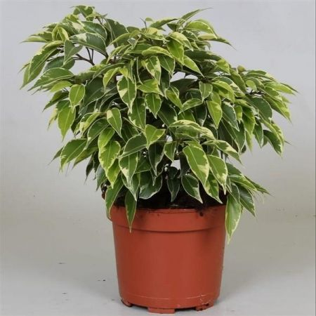 Ficus benjamina Kinky house plant in a 12cm pot. Weeping fig