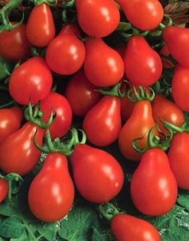 Italian Tomato Roma Plants in 9cm pot x 3.