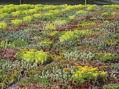 Sedum Seed Mix for Green Roofs and stony areas Specially formulated British Mix[1g - 1m sq] MX590