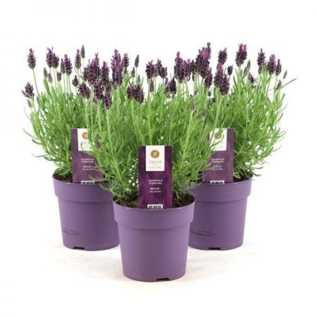 French Lavender Anouk garden sub shrub in 12cm pot x 3.  Scented foliage Attractive to bees