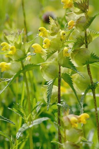 Wildflower Yellow Rattle Seeds - 5g packet