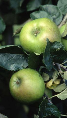 Apple (Malus) Bramley 20 tree in a 11.5 Litre Patio pot - Rootstock M27