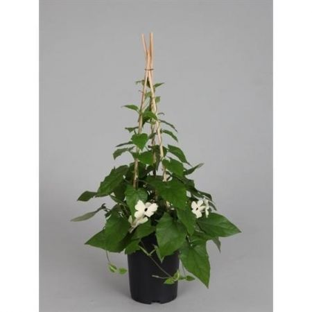 Black Eyed Susan WHITE Plant in a 14cm Pot approx. 60cm tall