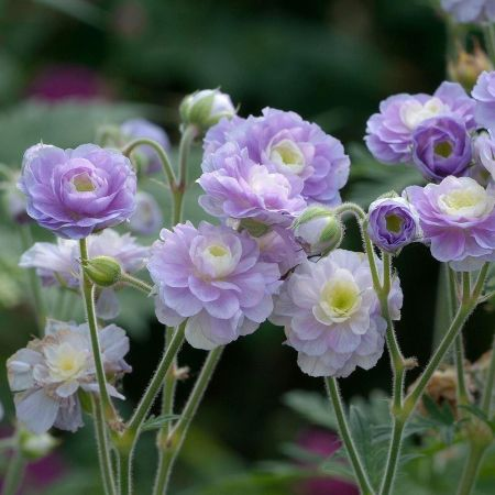 Hardy Geranium pratense Summer Skies Plant in a 17cm Pot