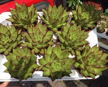 Echeveria agavoides Lipstick Succulent Plant in a 12cm Pot x 1.  Rarely Seen