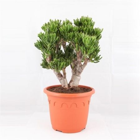Crassula ovata Horn Tree in a 32cm pot. 70cm tall. Money tree house plant