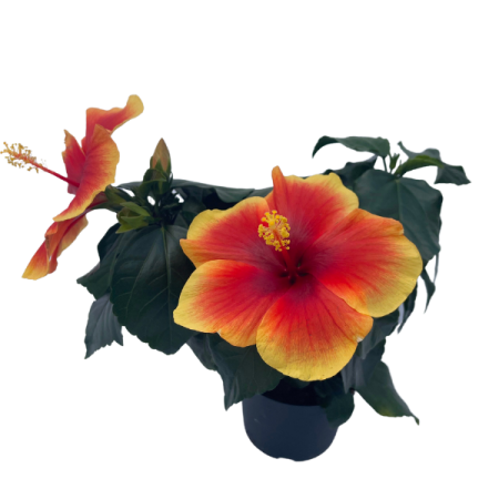 Hibiscus rosa-sinensis Red Fire Exotic Plant in a 12cm Pot