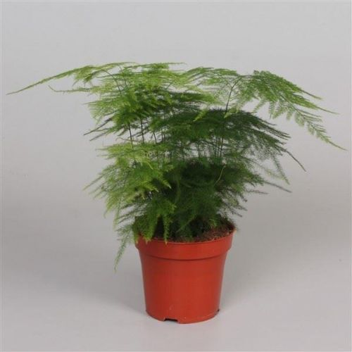 Asparagus Plumosus House Plant In A 6cm Pot Asparagus Fern Buy Trees Shrubs Perennials Annuals House Plants Statues And Furniture